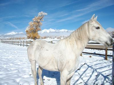 Grey Gelding Horse